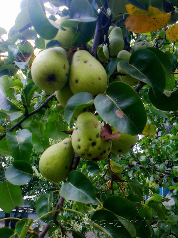 Варенье из зелёных груш: фото 1